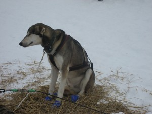 Exhausted sled dog closes his eyes during the Iditarod. Photo attributed to dweekly on flickr.