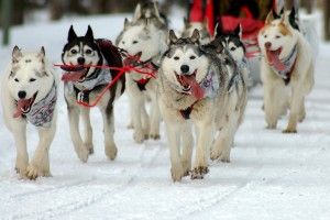 Dogs are not wearing booties during the Iditarod. As you face the photo, look at left paw of the dog on your right. Photo attributed to Orloskaya on flickr,