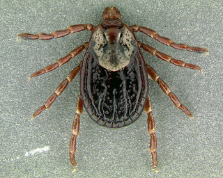 American dog tick. Dogs are at risk for serious diseases that can be transmitted by ticks, including Lyme disease, Rocky Mountain spotted fever, canine ehrlichiosis or tick fever, canine babesiosis, anaplasmosis and tick paralysis. Photo attributed to Armed Forces Pest Management of flickr.