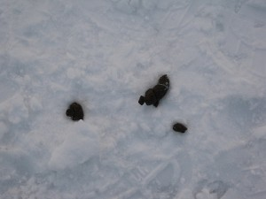 Iditarod sled dogs hoard their own poop to eat. Photo attributed to garycycles5 on flickr