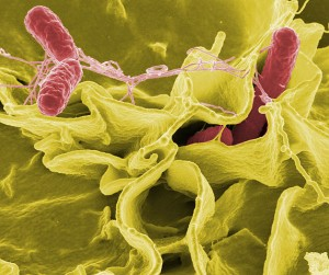 Micrograph of Salmonella (red). Iditarod dogs have a high prevalence of Salmonella compared to other dogs. Salmonella shedding by dogs is a possible source of Salmonella infection in humans. Photo attributed to Rocky Mountain Laboratories, NIAID, NIH.