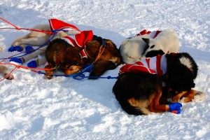 Racing in the Iditarod exhausts sled dogs.