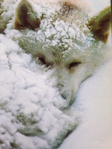 Sled dog freezing in the horrific cold during the Iditarod.