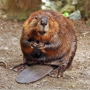 North American beaver. During the Iditarod, mushers feed their dogs beaver meat. Dogs who eat beavers infected with tularemia can get sick and die. Photo attributed to stevehdc on flickr.