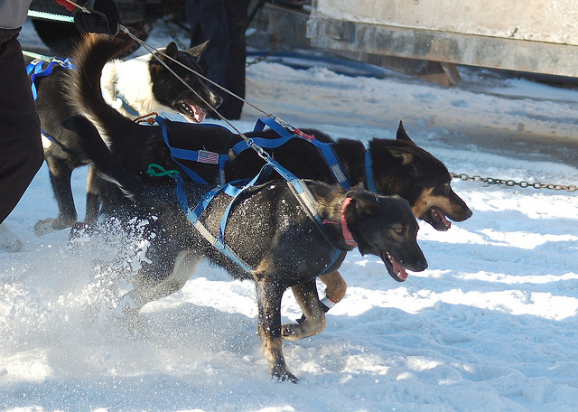 Dog injuries, sicknesses and extreme stress | Sled Dog ...