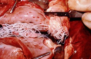 Dog's heart infected with heartworm nematodes. Photo attributed to Alan R. Walker on Wikimedia