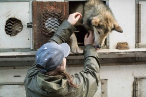 Iditarod sled dog is scared to jump out of dog truck. Photo attributed to Brad Wilke on flickr.