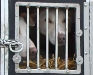 Two dogs crammed into a small box can easily fight and injure each other.