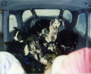 Sick, injured and tired dropped dogs are crammed into a small airplane. The dogs are not properly secured and can be injured or killed by turbulence, to which a small plane is especially vulnerable.