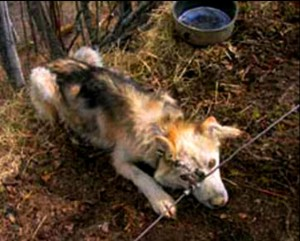 "This dog was one of several on Doug Bartko's property who were tied to ""gang lines"" with leads that allowed only 12 to 15 inches for movement. Photo is courtesy of SledDogma.org"