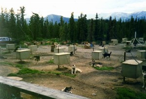 Dogs kept on short chains in Iditarod kennel