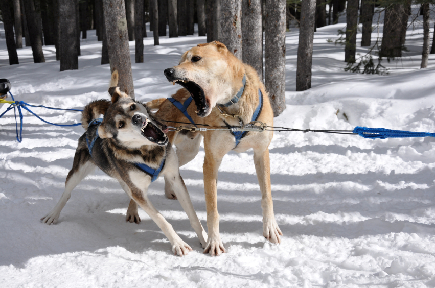 Racing Sled Dogs For Sale