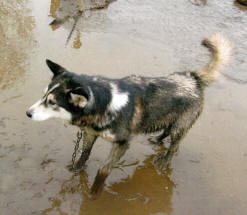 Iditarod sled dog lives in mud. Photo courtesy of SledDogma.org.