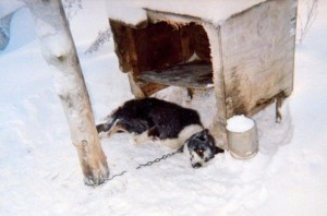 Dead Iditarod dog tethered to a pole in a musher's kennel. Because the tether is extremely short, the dog could not even get inside his pathetic shelter. Most Iditarod dogs die alone. Their deaths are kept secret.