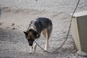 Very sad or depressed tethered Iditarod dog. Photo attributed to Barrison on flickr.