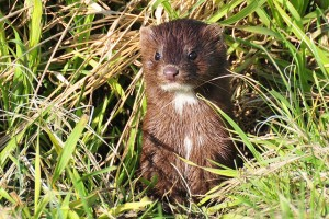 American mink. Iditarod sled dogs who are given mink to eat are at risk of getting transmissible mink encephalopathy. Photo attributed to Tom Koerner/USFWS on flickr.