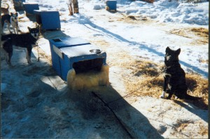 Shelter with frozen dog pee on it. Iditarod sled dogs tethered on very short chains.