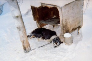 Dead Iditarod dog tethered to a pole in a musher's kennel.