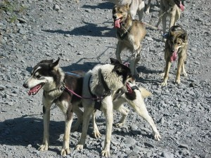Iditarod dogs are exhausted and overheated from running in hot summer weather. Their paws can easily be injured by running on rocks. Photo attributed to raer on flickr.