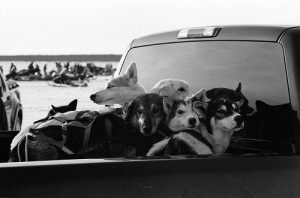 Sled dogs are injured or killed when they jump or are thrown from the back of pick-up trucks. Photo attributed to fouldsy on flickr