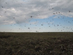 Alaska has many mosquitoes and this photo shows a small number of them. Mosquitoes attack dogs who are chained outside. Photo attributed to mecocrus on flickr, taken July 8, 2008