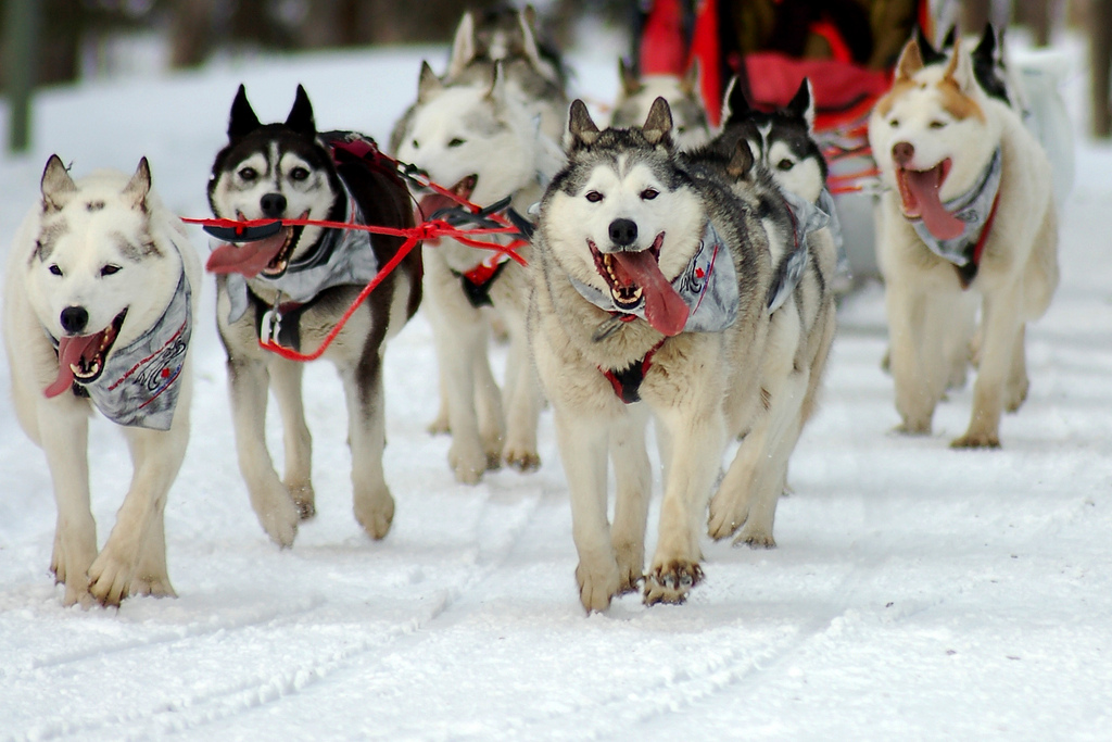 History of the Iditarod Trail Sled Dog Race