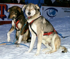 Sled dogs at Iditarod finish line in Nome. One dog holds up a painful paw. Dogs who finish the 1,000-mile Iditarod do not get veterinary care or exams. Photo attributed to jbrooks on Flickr.