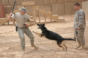 Training a military working dog. Photo attributed to The US Army on flickr. In developing a program for canine warfighters, wouldn't it make sense for Dr. Davis to study Shepherds, Malinois and Retrievers, the dogs who are actually used most often for military work? But that's not what he's doing. For this project, he's using tax dollars to study Iditarod Alaskan Huskies.
