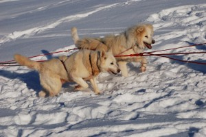 Dogs straining to run in deep snow
