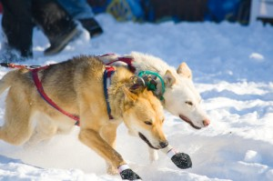 Dogs are exhausted at the start of the Iditarod.
