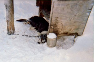Dead Iditarod sled dog. Most dog deaths are kept secret.