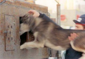 Musher lifting dog and putting him into a small container