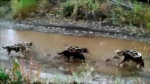 The dogs train in stagnant water, which they often drink. This can be dangerous. Stagnant water may contain harmful bacteria and parasites. Photo courtesy of SledDogma.org