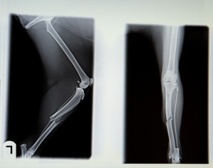 X-rays of dog's broken leg. Sled dogs break their legs in the Iditarod. Expensive surgeries are needed to repair some breaks. Rather than spend the money, mushers are likely to kill dogs who aren't valuable to them.