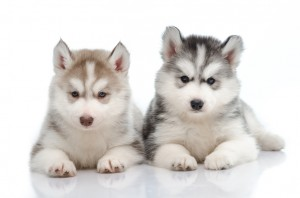 Iditarod sled dog puppies are beaten with whips, shovels, tree branches or anything else that's within easy reach.