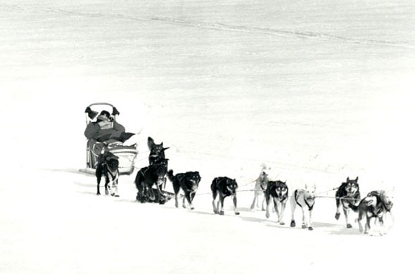 Dragging Sled Dog