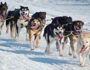 Iditarod dogs running without booties on their paws. Booties protect paws from injuries. Photo attributed to Orloskaya on flickr