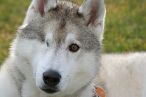 Photo of a one-eyed sled dog. Blind and one-eyed sled dogs have been forced to race in the Iditarod.