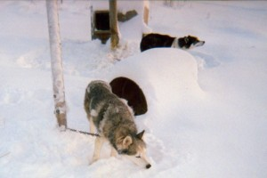 Iditarod sled dog is forced to live on extremely short chain.