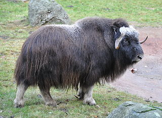 Musk oxen have killed and injured tethered Iditarod dogs. Photo attributed to Quartl on Wikimedia.