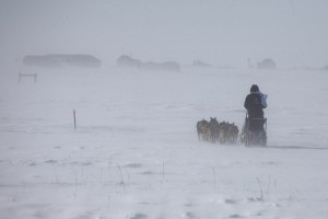 Dogs work hard in a blizzard. Musher rides! Photo attributed to mdheightshiker on flickr